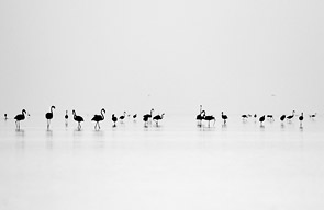 Black Flamingos by bhavya